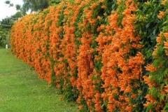Flamevine-Plant