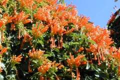 Flamevine-plant-growing-wild