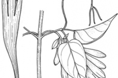 Sketch-of-Flamevine
