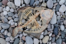Skeleton-of-Flatfish