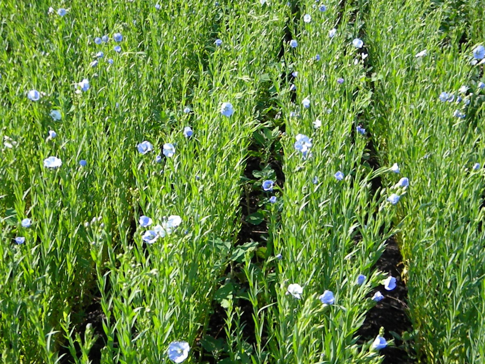 Flaxseed-farm