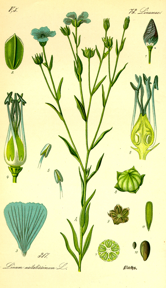 Flaxseed-illustration