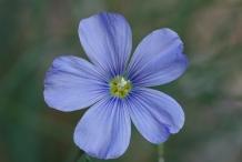 Flaxseed-flower