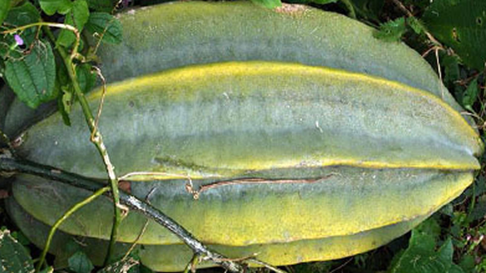 Mature-Fluted-Gourd