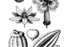 Sketch-of-Fluted-Gourd
