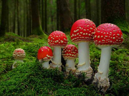 Fly-Agaric-mushroom-growing-wild