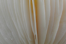 Closer-view-of-gills-of-Fly-Agaric