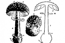 Sketch-of-Fly-Agaric-mushroom