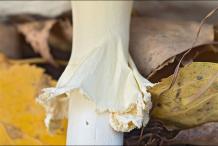 Stem-of-Fly-Agaric-mushroom