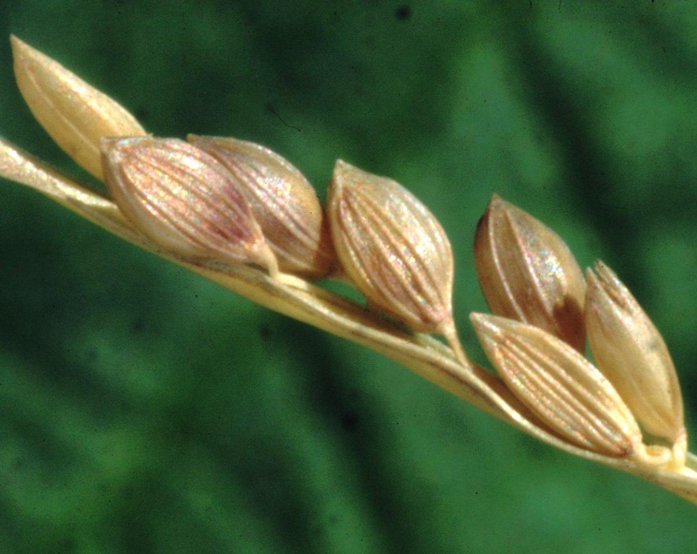 Close-up-Fonio-grains