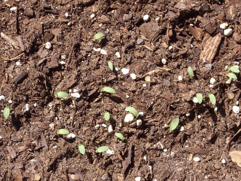 Seedlings-of-Fonio