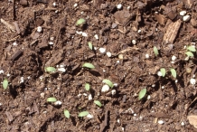 Seedlings-of-Fonio