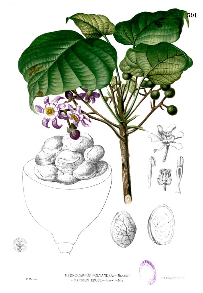 Football-plant-illustration