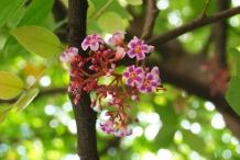 Forest-Bilimbi-flowers