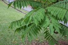 Forest-Bilimbi-leaves