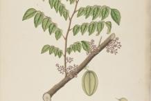 Forest-Bilimbi-plant-illustration