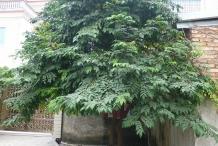 Forest-Bilimbi-tree