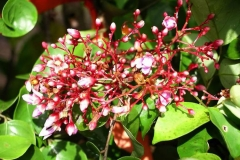 Flower-buds-of-Forest-Bilimbi