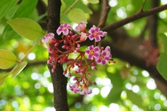 Forest-Bilimbi-flowers