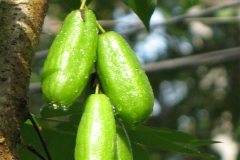 Forest-Bilimbi-fruits