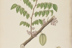 Forest-Bilimbi-plant-illustration