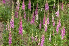 Foxgloves-flower