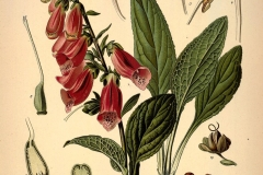 Plant-illustration-of-Foxgloves