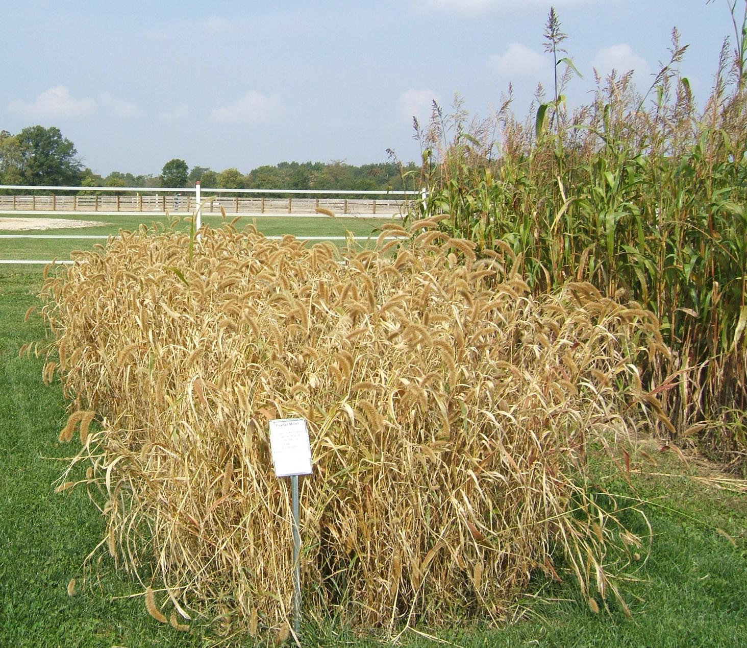 Foxtail-millet-hay