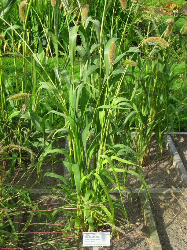 Foxtail-millet-leaves