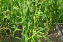 Foxtail-millet-leaves