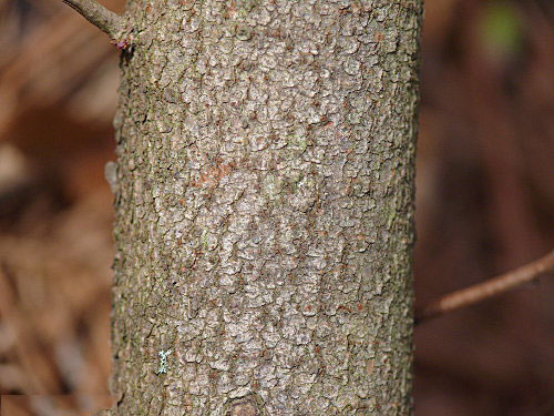 Bark-of-Fragrant-sumac
