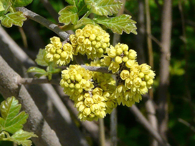 Cluster-of-Fragrant-sumac-flower