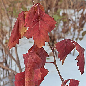 Fall-leaf-color-of-Fragrant-sumac