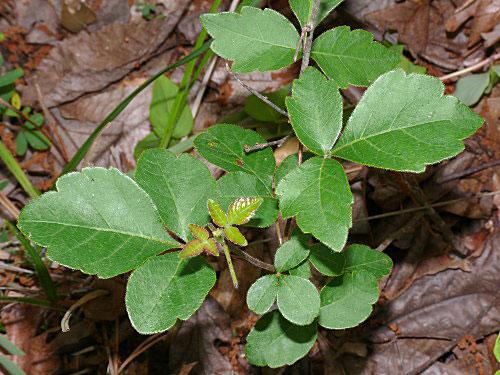 Fragrant-sumac-plant