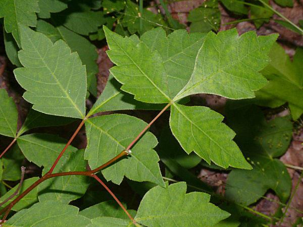 Leaves-of-Fragrant-sumac