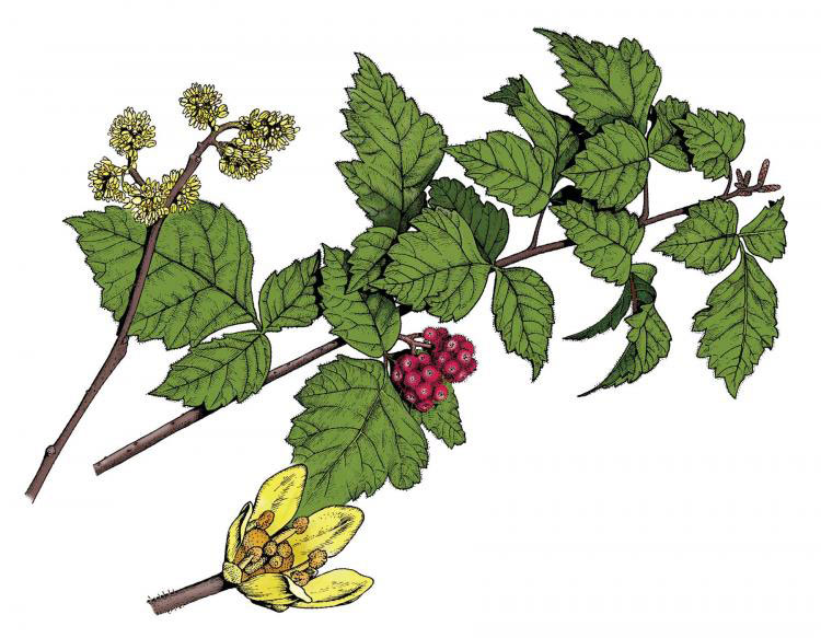 Plant-Illustration-of-Fragrant-sumac