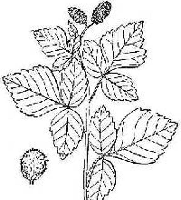 Sketch-of-Fragrant-sumac