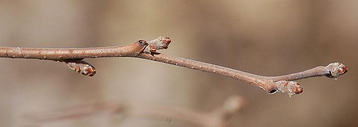 Twigs-of-Fragrant-sumac