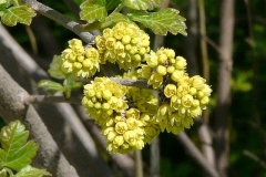Cluster-of-Fragrant-sumac-flower