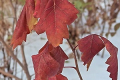 Fall-leaf-color-of-Fragrant-sumac