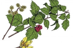 Plant-Illustration-of-Fragrant-sumac