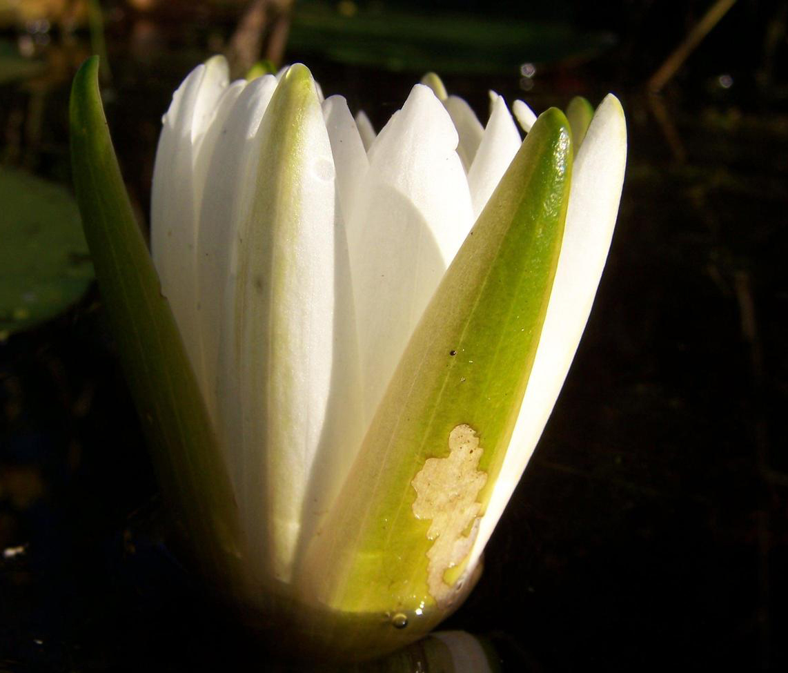 Opening-buds-of-Fragrant-Water-Lily