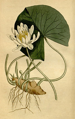 Plant-illustration-of-Fragrant-Water-Lily