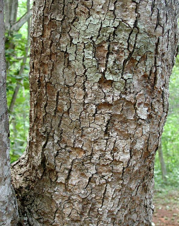 Frangipani-bark