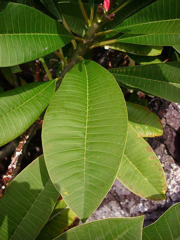 Frangipani-leaves