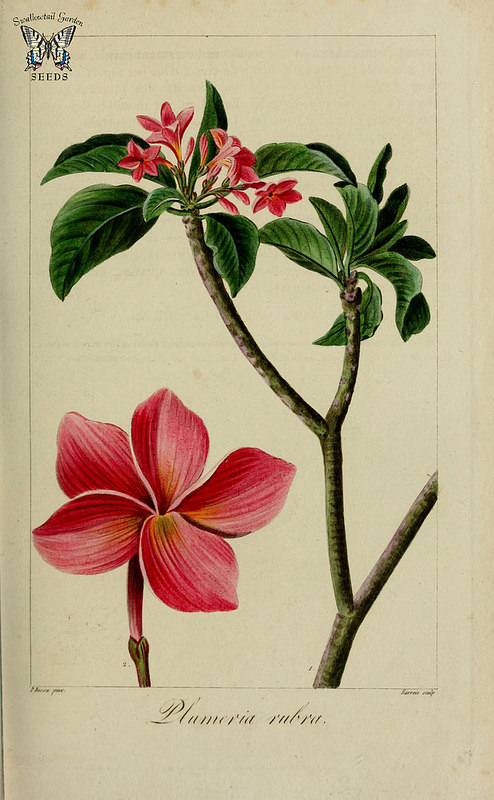 Illustration-of-Frangipani