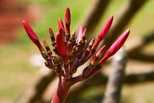 Flower-bud-of-Frangipani
