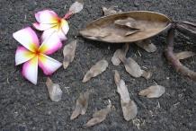 Frangipani-seeds