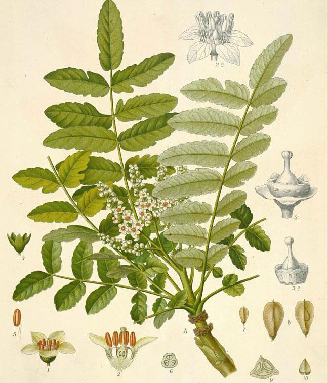 Plant-Illustration-of-Frankincense