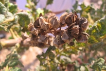 Matured-and-Dried-fruits-of-Frankincense tree